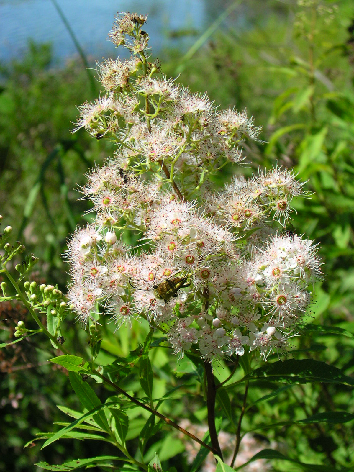 Agriculture Department Spiraea Alba - Wikispecies