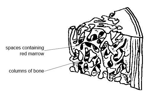 bone tissue diagram