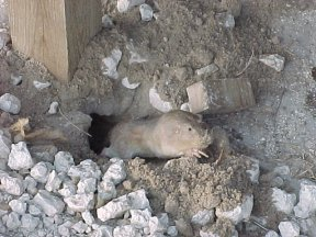 Texas Pocket Gopher (Geomys personatus)