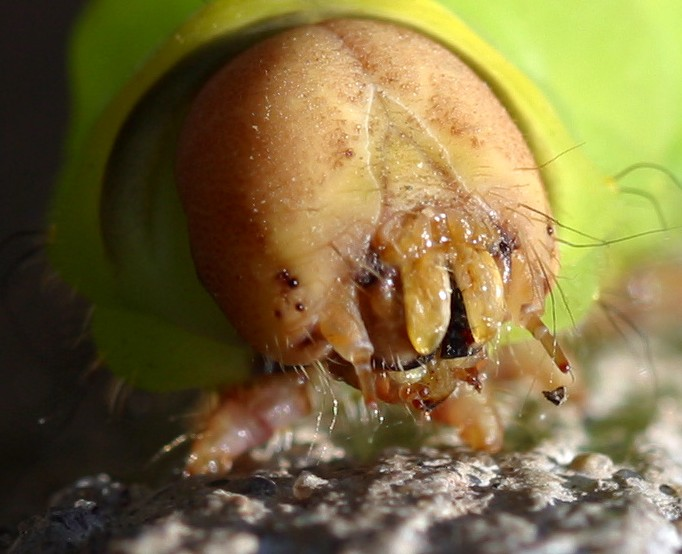 Arthropod mouthparts - Wikipedia