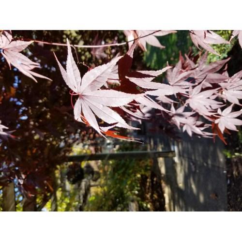 Medium Crop Of Emperor Japanese Maple