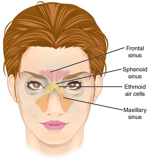 Paranasal sinuses - Wikipedia