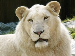 Description White Lion.jpg