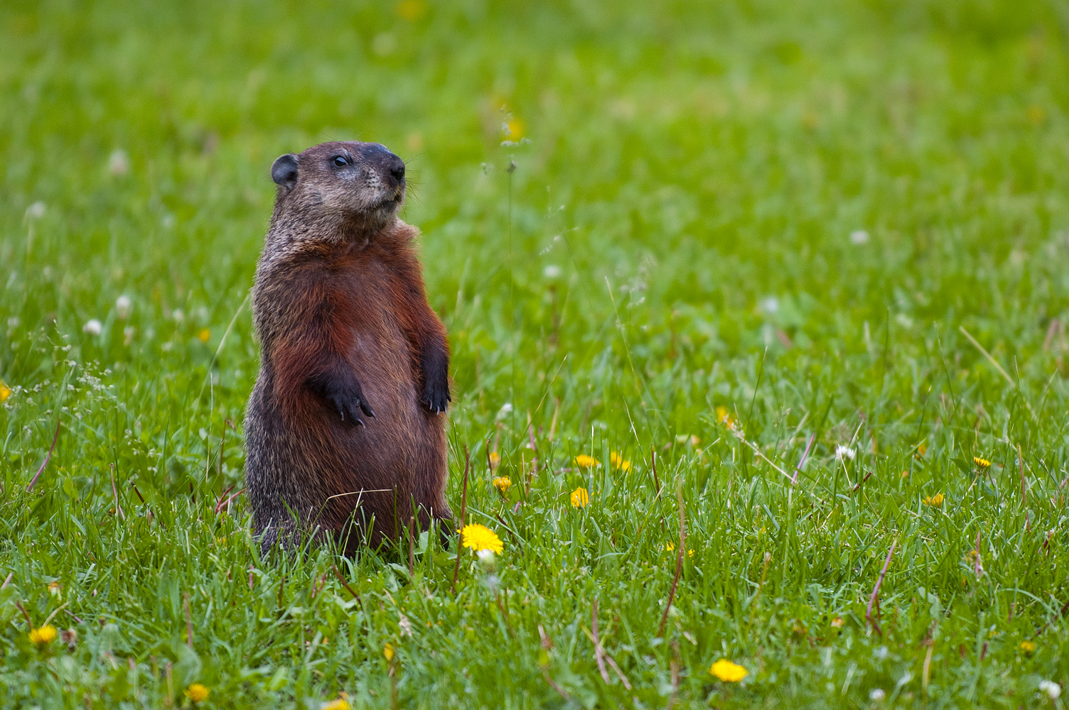 Groundhogs File Groundhog Standing2 Jpg