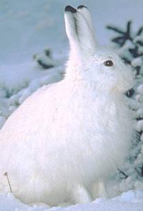 3d Winter Scenes Wallpaper Amerikaanse Haas Wikipedia