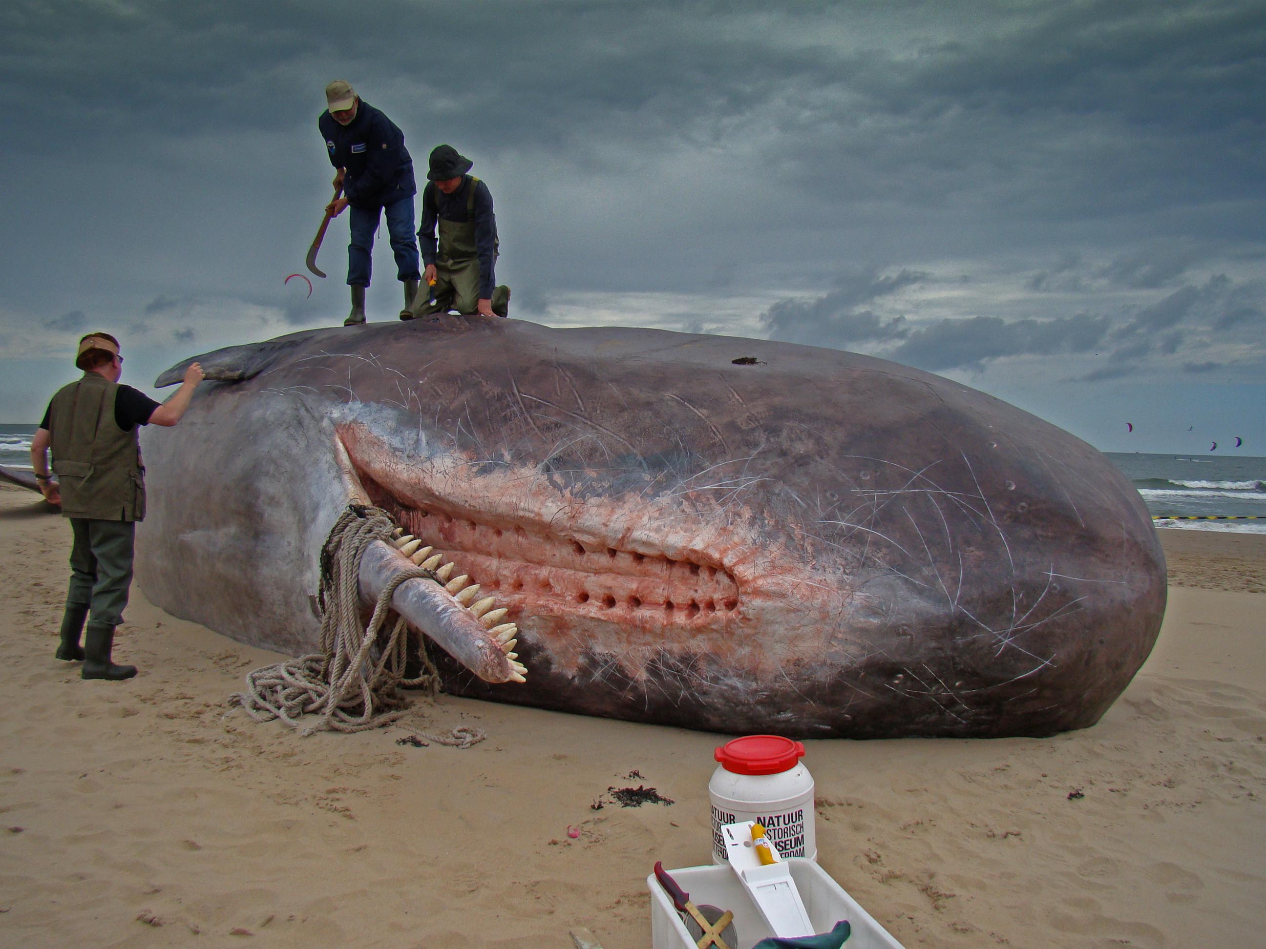 Фото пенисов у китов 6 фотография