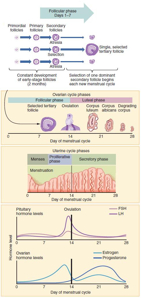 Menstrual cycle - Wikipedia