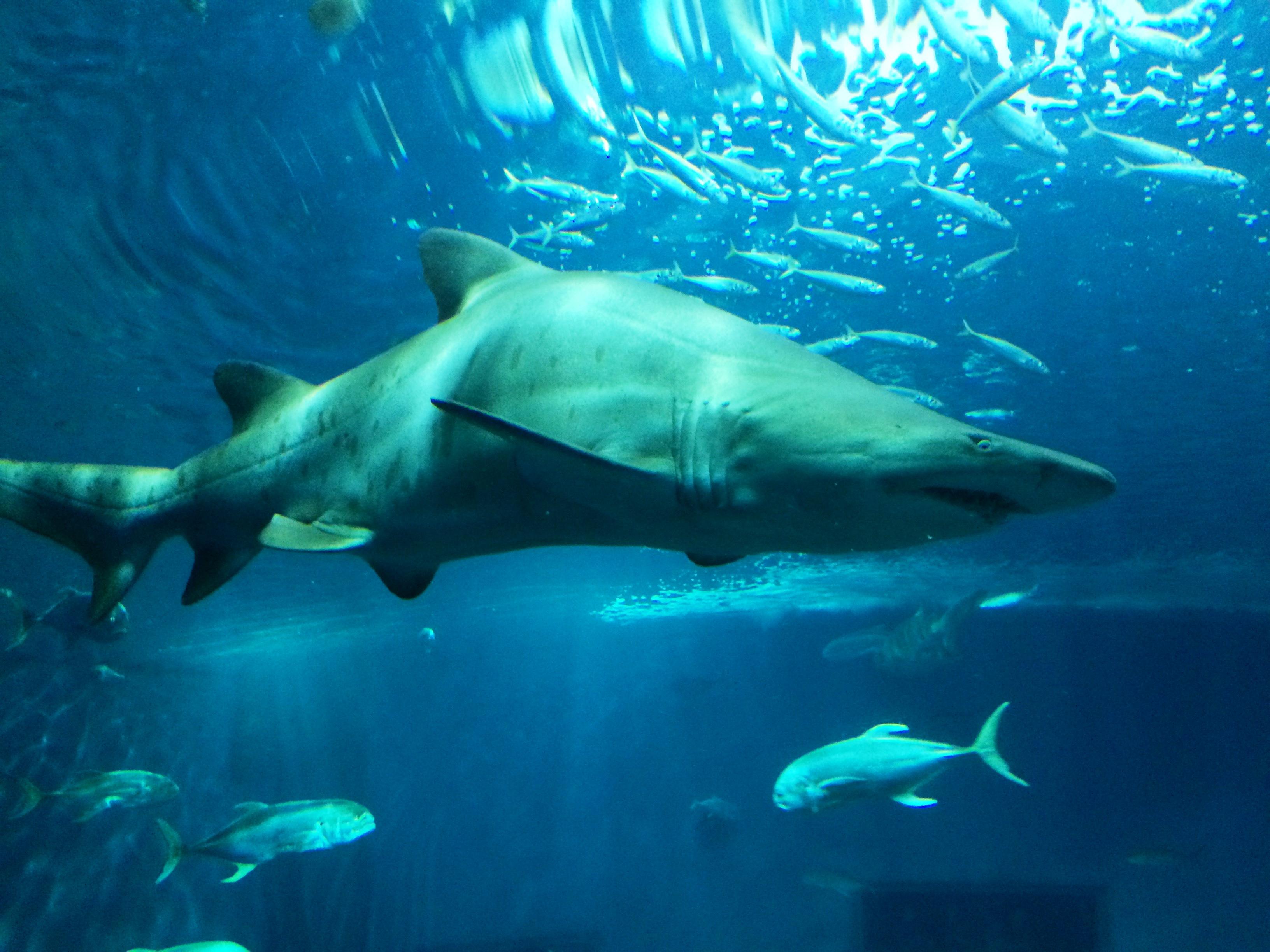 Fileacuario Sevilla Tiburon Torojpg Wikimedia Commons