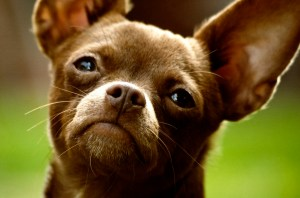 Brown Chihuahua Dogs Puppy