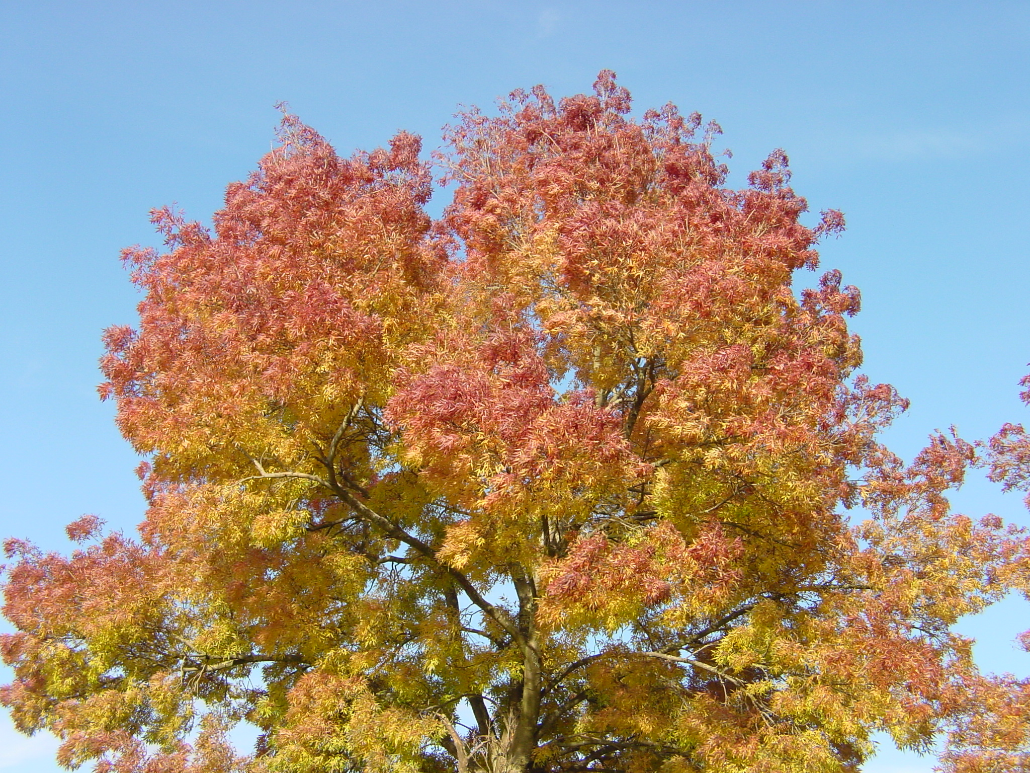 Ahorn October Glory File Fall Tree Jpg Wikimedia Commons