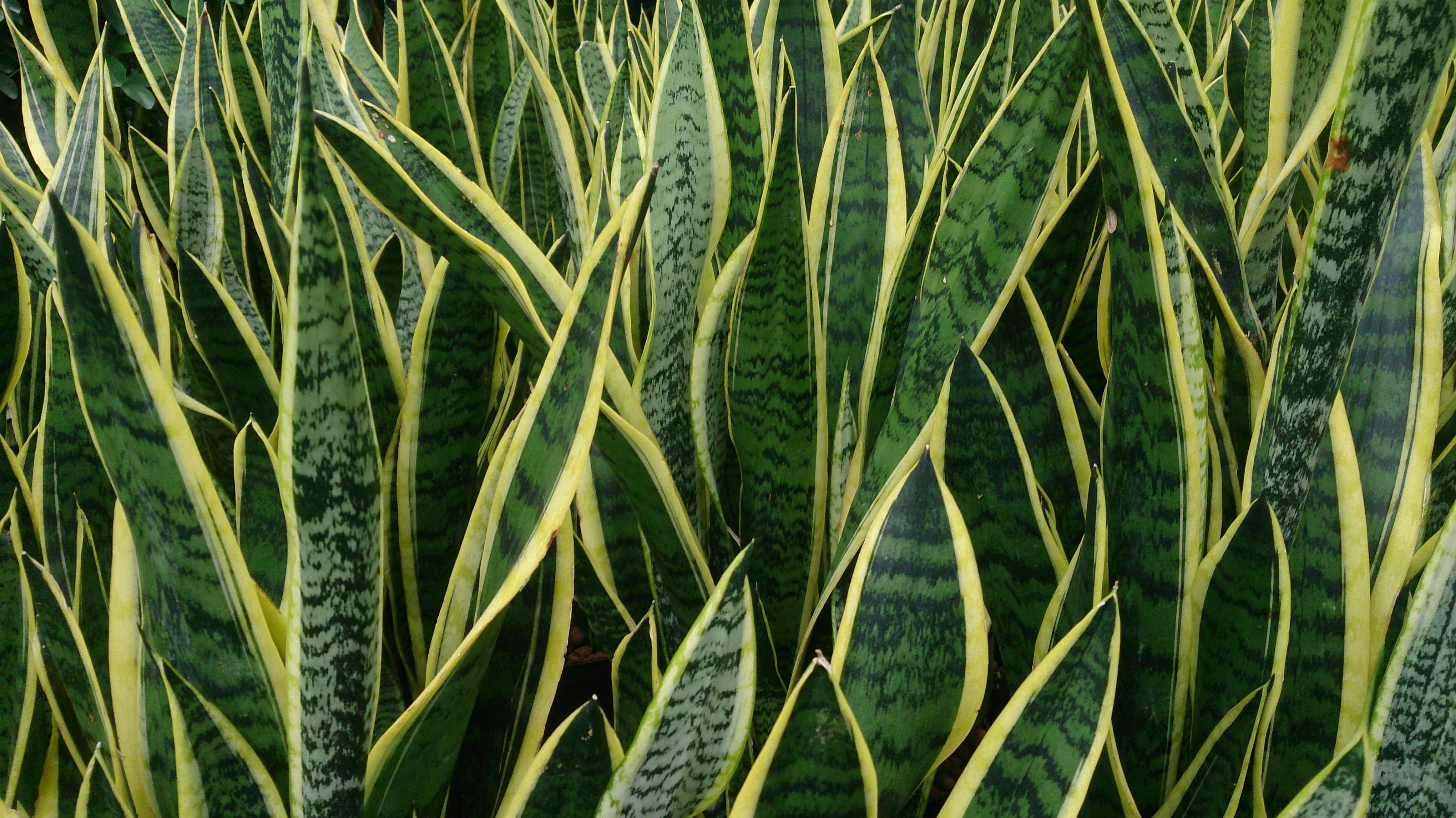 Filesnake Plant Sansevieria Trifasciata 39laurentii39jpg