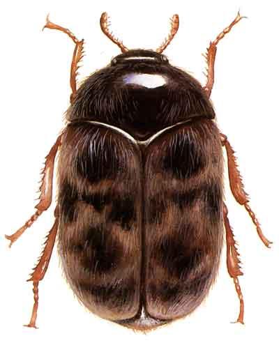 Khapra beetle - Wikipedia