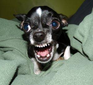 Funny Chihuahua Dog
