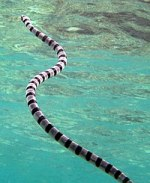 Black And White Sea Snake