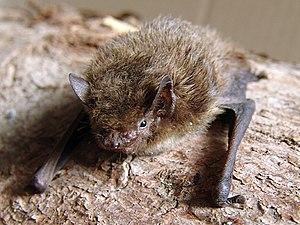 Nathusius' pipistrelle bat (Pipistrellus nathu...