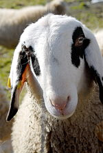JezerskoSolava sheep - Wikipedia