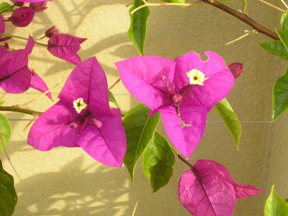 Paper Flower Wiktionary