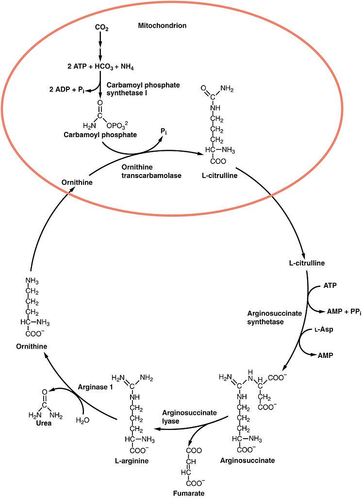 File2518 Urea Cyclejpg - Wikimedia Commons - urea cycle