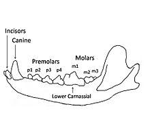 canis lupus skull diagram