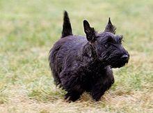 Image For Scottish Terrier Wikipedia