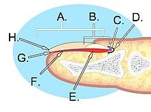 Nail Anatomy Wikipedia