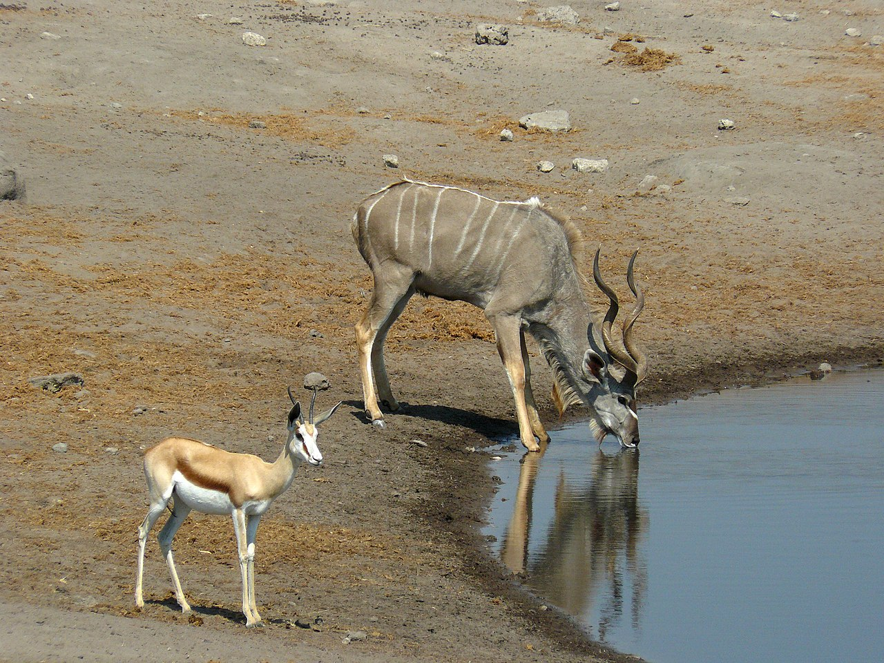 Lion Animal Wallpaper File Greater Kudu And Springbok Etosha National Park