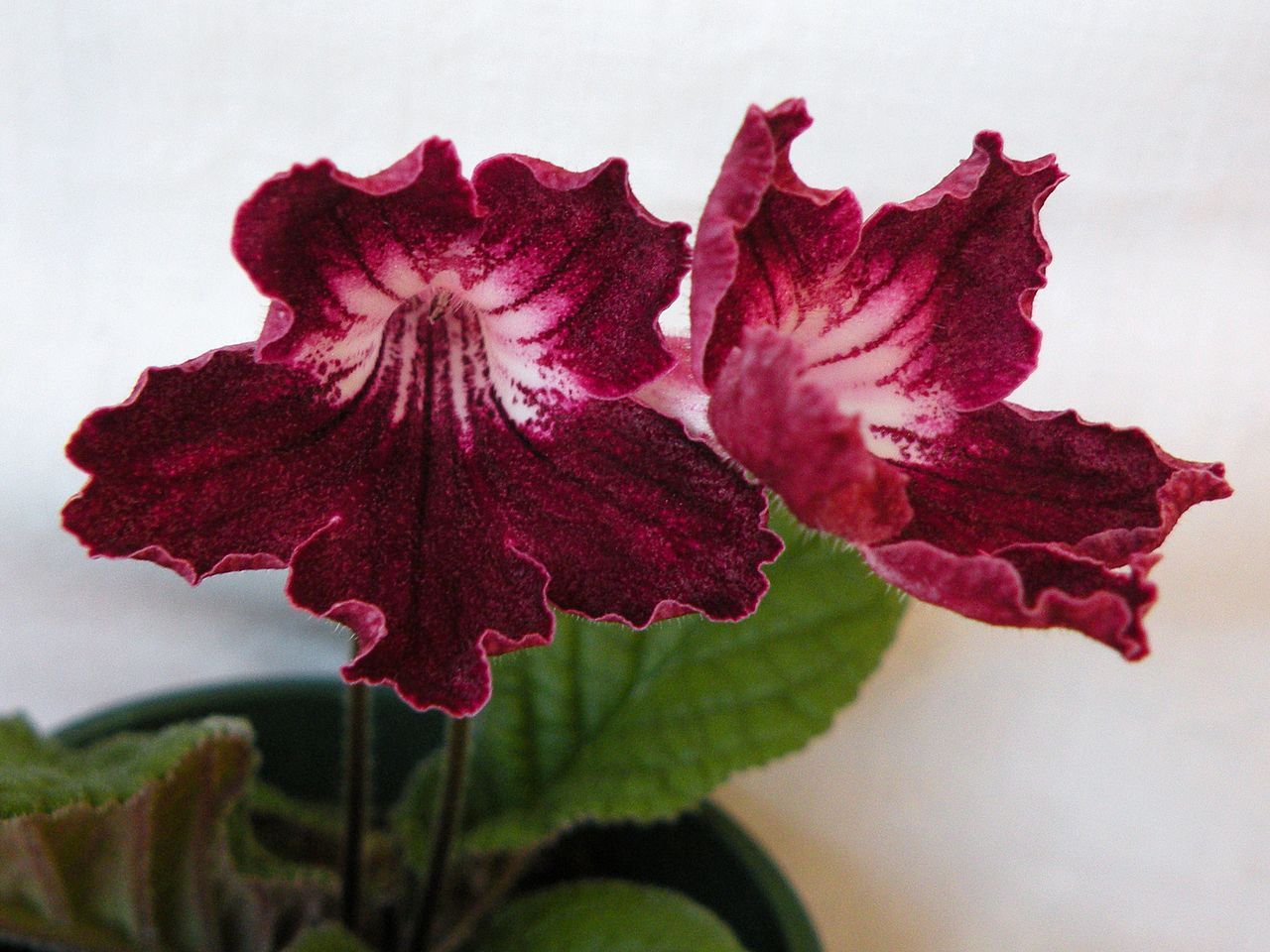 Mr White Koper File Streptocarpus 39anderson 39s Mr Currie 39 Hybrid Flowers