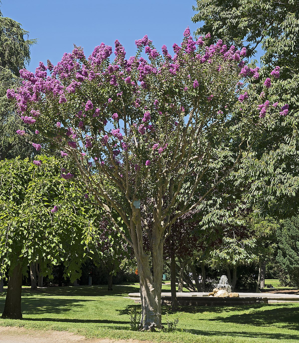 Lila Des Inde Lagerstroemia Indica Wikipédia