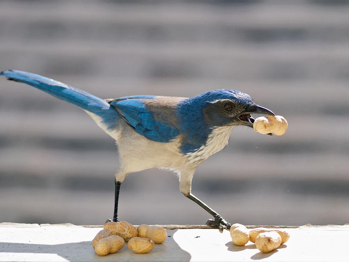 Hoarding Animal Behavior Wikipedia