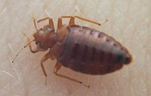bedbug (Cimex sp.)