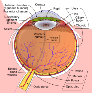 File:Schematic diagram of the human eye en.svg