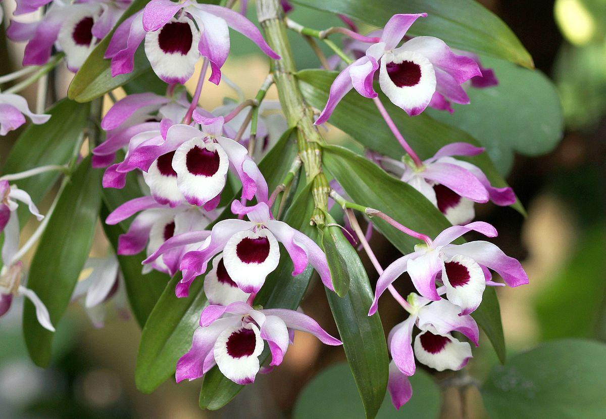 3d Orchid Wallpaper Дендробиум благородный Википедия