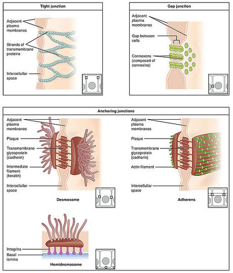 Major types of intercellular junctions - WikiLectures