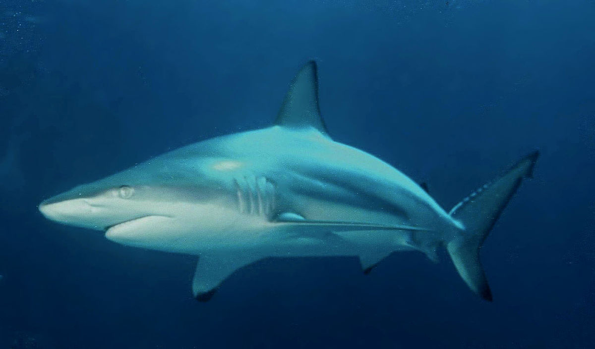 Hd Great White Shark Wallpaper Blacktip Shark Wikipedia