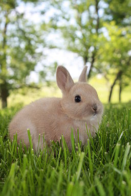 4-Week-Old Netherlands Dwarf Rabbit