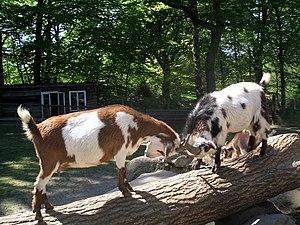 Goats butting heads.