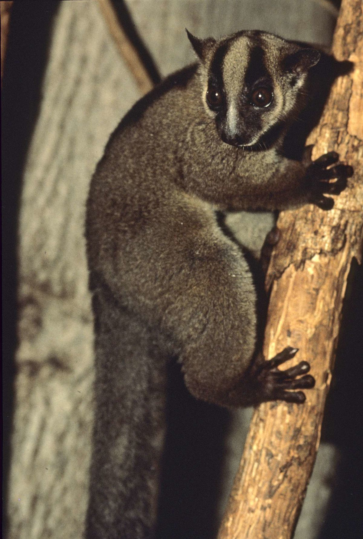 Purple And Green Fork-marked Lemur - Wikipedia