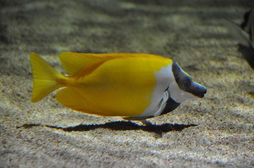 Fox-faced Rabbitfish (16444109145)