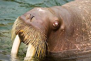 Walrus at Kamogawa Seaworld, Japan