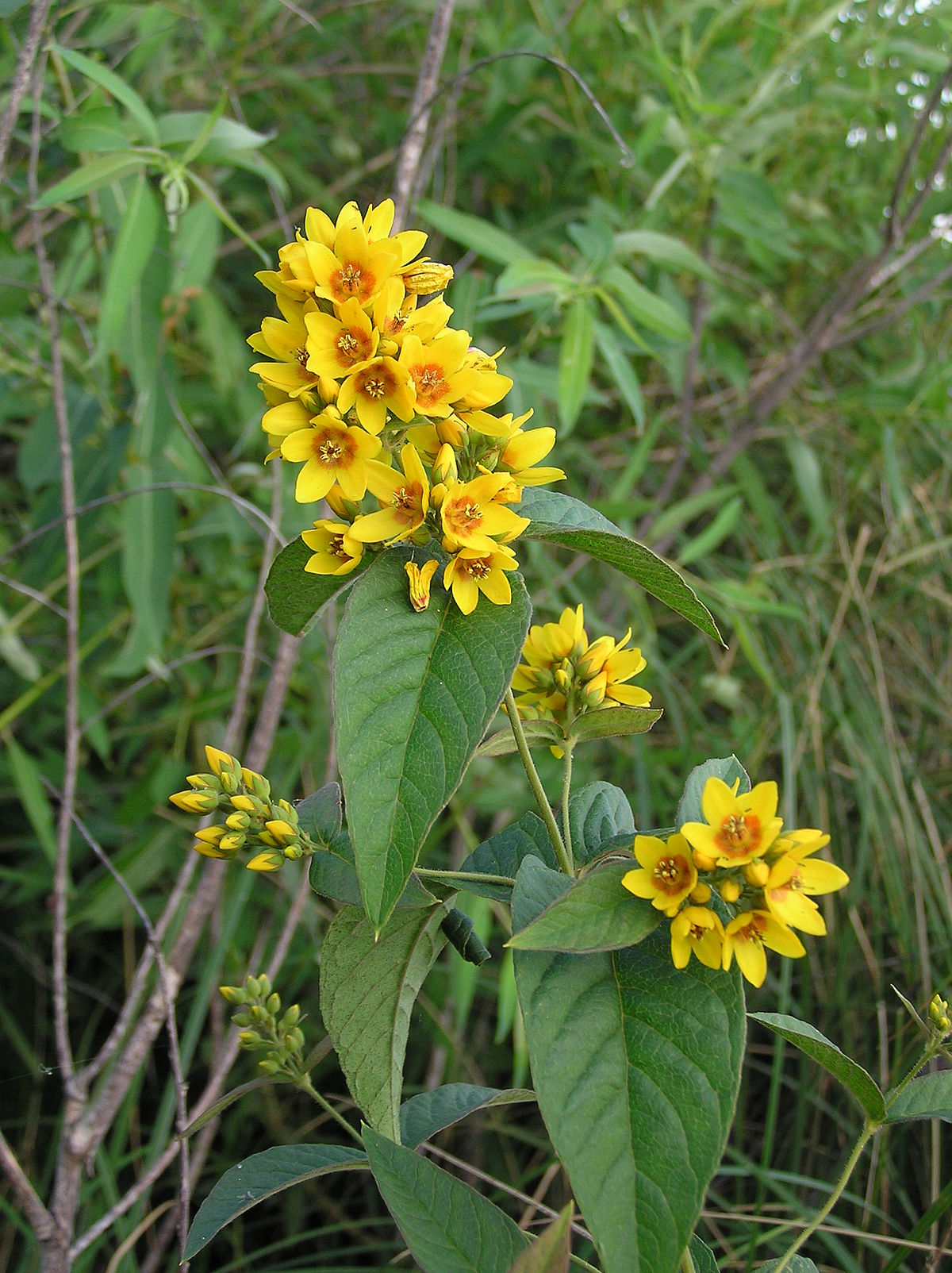 Agriculture Department Lysimachia Vulgaris - Wikispecies