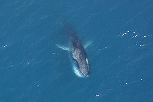 Overhead view of a Fin Whale feeding