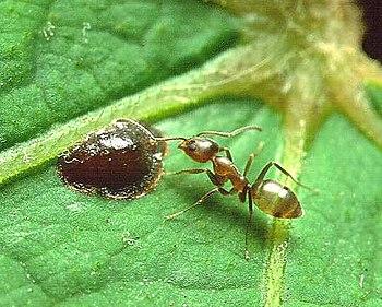 Linepithema humilis, Argentine ant