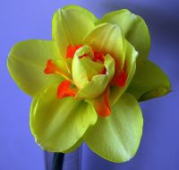 Narcissus Photo Copyright Vincent de Groot under GNU License from Wikipedia