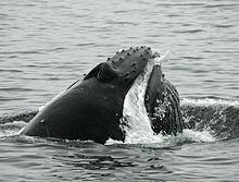 Kids Wallpaper Hd Humpback Whale Wikipedia