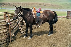 A Mongolian horse (with trimmed mane) in traditional riding gear