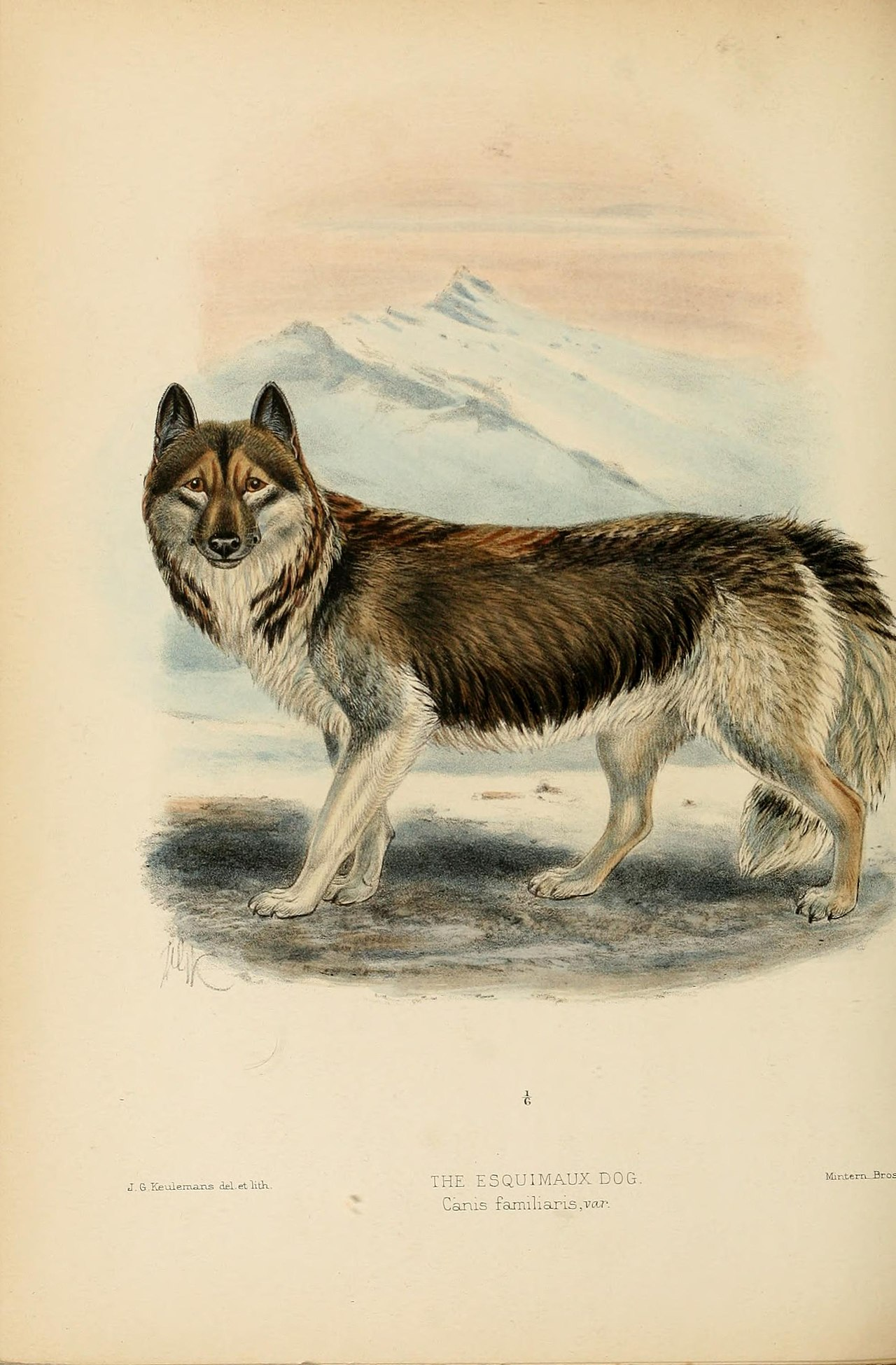 Toronto File Dogs Jackals Wolves And Foxes A Monograph Of The