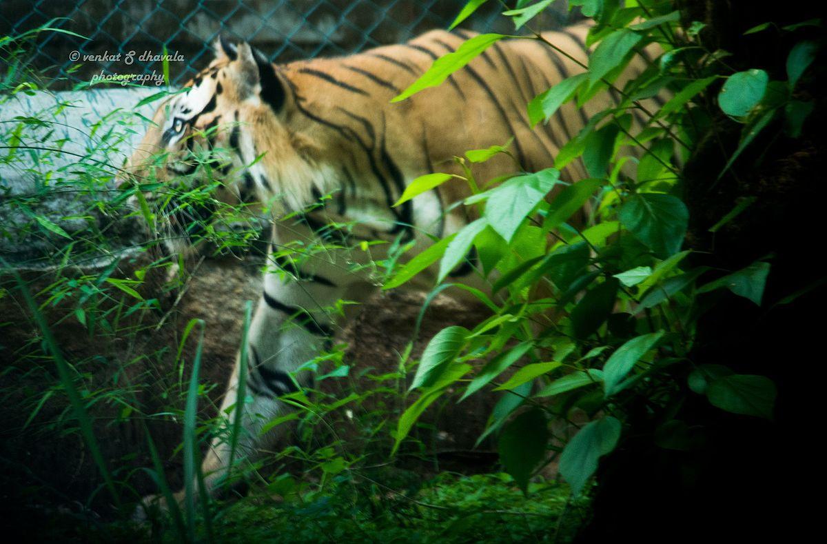 Tiger Animal Wallpaper Bannerghatta National Park Wikipedia