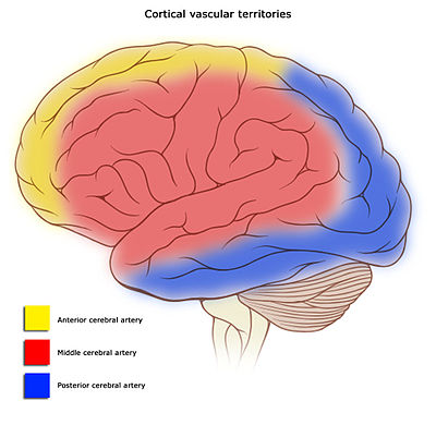 Cerebral circulation - Wikiwand
