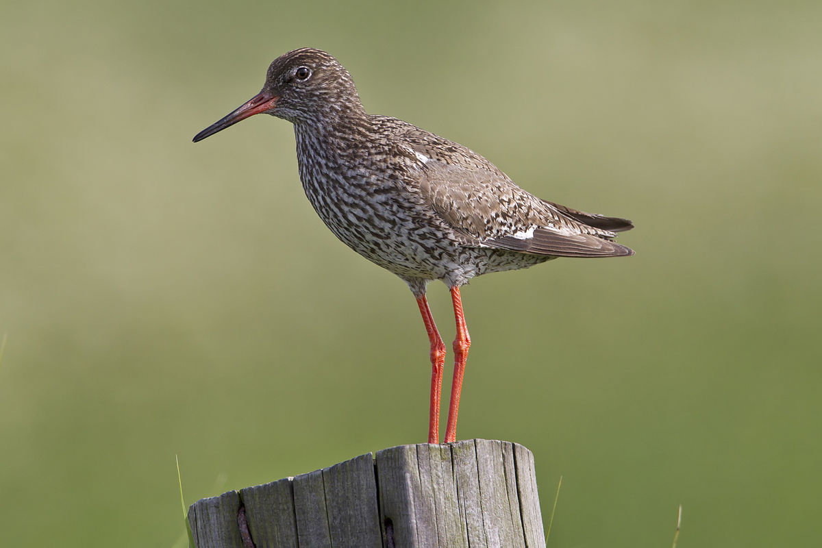 Vogel Met Oranje Snavel Common Redshank Wikipedia
