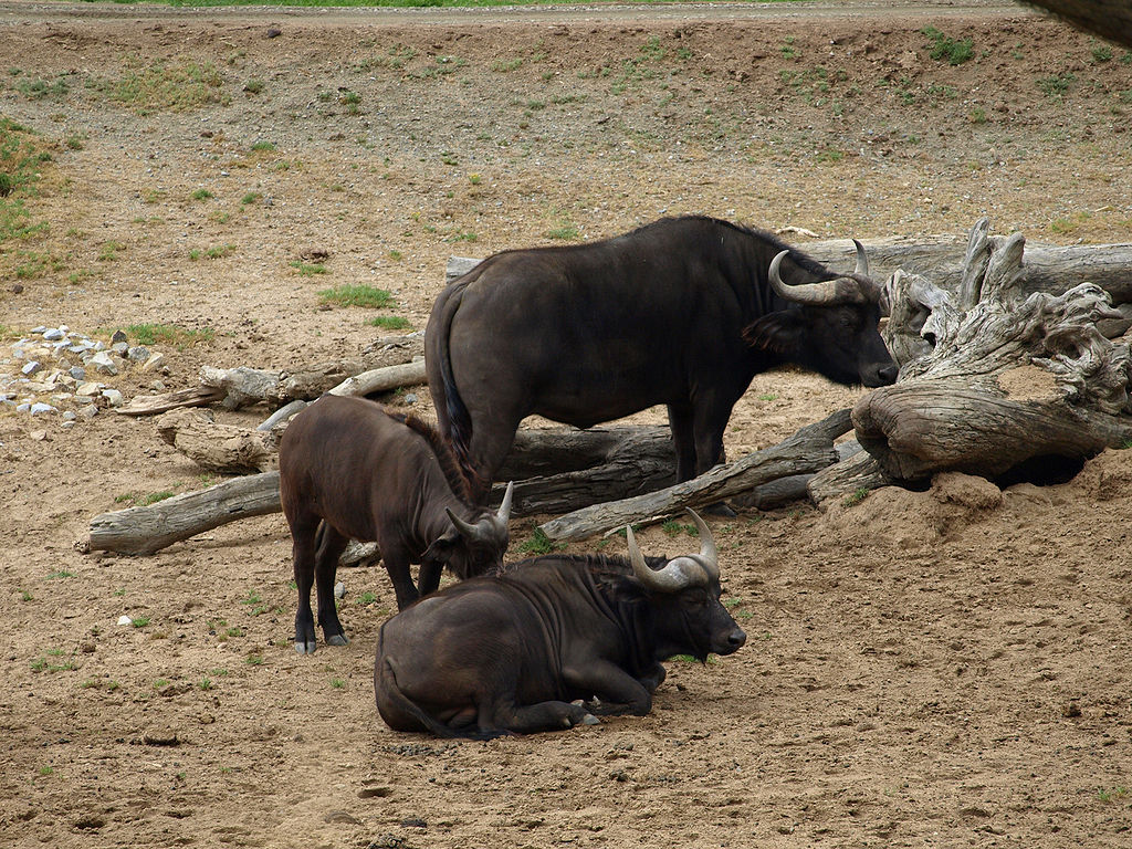 Safari Animal Wallpaper File African Buffalo At Wild Animal Park San Diego Jpg